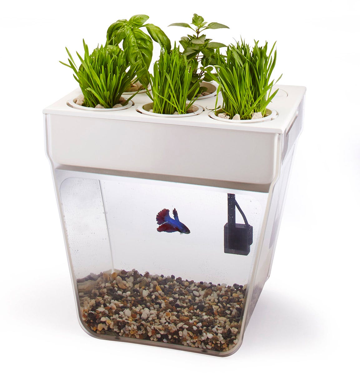Back to the Roots - Water Garden - Desktop Aquaponics *DISCONTINUED* This item has been discontinued. We recommend one of the Related Products below as a replacement. CLOSED-LOOP ECOSYSTEM. This 3-gallon fish tank is a closed-loop, self-cleaning ecosystem. Using the science of aquaponics, the fish waste naturally fertilizes the plants above, and the plants, in turn, clean the water for the fish. Great for small pet fish and growing fresh herbs above. The double-decker combination of garden and fish bowl creates a symbiotic ecosystem. In the top tray, basil, mint, spinach, baby greens, and other edible or decorative plants thrive as nutrient-rich water is circulated past their roots. That process purifies the water, which is then sent back to the 3-gallon tank below, creating a happy, healthy habitat for a betta fish. The Water Garden makes an intriguing visual centerpiece for your own environment, whether that's on a side table or countertop, in an office, classroom or kitchen. Made in Union City, California. The Water Garden comes with everything needed to get started including: 3-gallon tank 5 grow pots water pump gravel for tank Growstones™ for pots organic seeds from Seeds of Change® (Genovese Basil and Wheatgrass) all-natural aquatic supplies and natural fish food from Kordon® HomeGrownPonics™ One coupon for a Betta fish from Petco®.