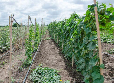 trellis netting being used on a commercial grow farm