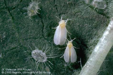 Whiteflies with nymphs