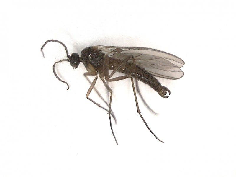 Male dark-winged fungus gnat