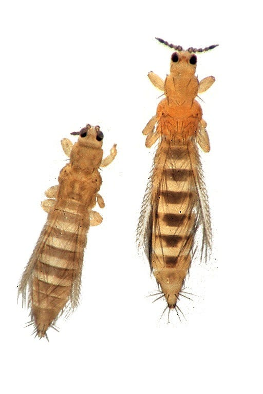 two common thrip species